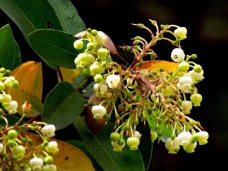 Arbutus glandulosa IMG_9048-001