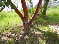 Arbutus glandulosa P1020881-001