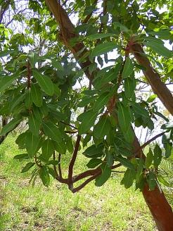 Arbutus glandulosa P1020882-002