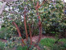 Arbutus x andrachnoides IMG_2079 (2)