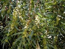 Eucalyptus porosa DSCN6526-001