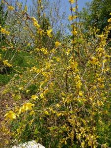 Forsythia europaea P1020861-001