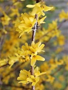 Forsythia europaea P1020870 (3)