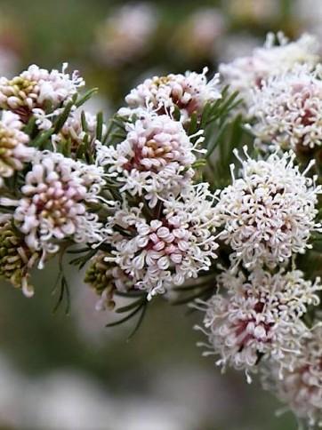 Grevillea crithmifolia P1020778 (2)