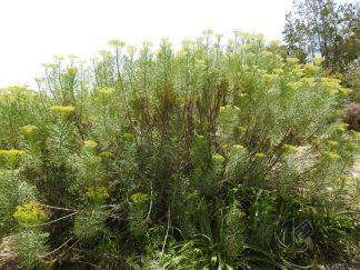 Hymenolepiscrithmifolia DSCN6430-001
