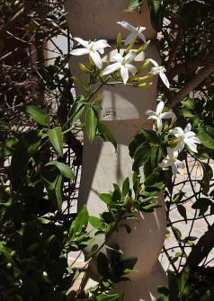 Jasminum azoricum-1 DSCN7081 (2)