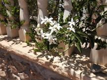 Jasminum azoricum DSCN7080 (2)