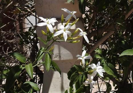 Jasminum azoricum DSCN7081-001 (2)