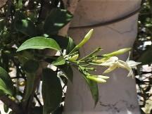 Jasminum azoricum DSCN7081-2 (2)