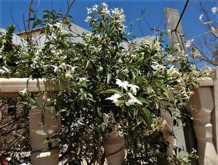 Jasminum azoricum DSCN7082 (3)