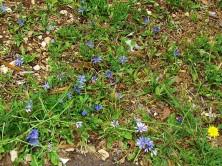 Lactuca undulata IMG_8619 (2)