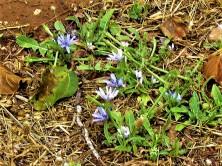 Lactuca undulata IMG_8623 (3)