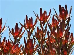 Leucadendron galpini DSCN6429 (2)