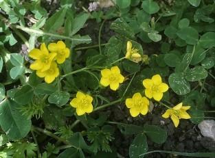 Ranunculuspaludosus IMG_4960 (2)
