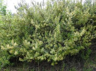 Searsia tumulicola DSCN6469 (2)