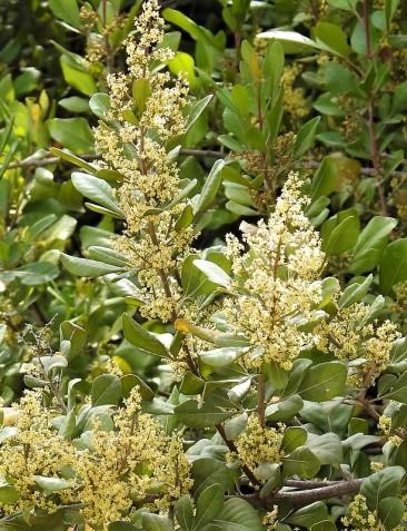 Searsia tumulicola DSCN6470-001 (3)