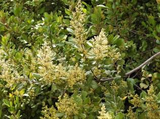 Searsia tumulicola DSCN6470 (2)