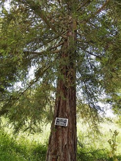 Sequoia sempervirens DSCN6480 (2)