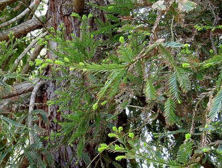 Sequoia sempervirens DSCN6482-004