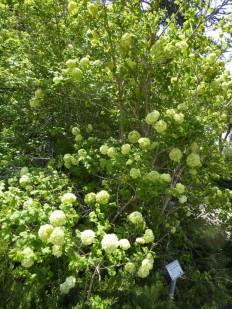Viburnum opulus f. roseum P1020821 (2)