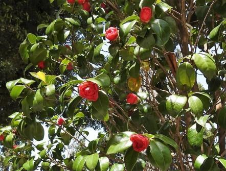 Camellia DSCN8303-001 (2)