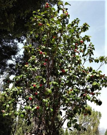 Camellia DSCN8304 (3)