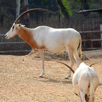 Antilopa_Oryx_DSCN0232 (2)