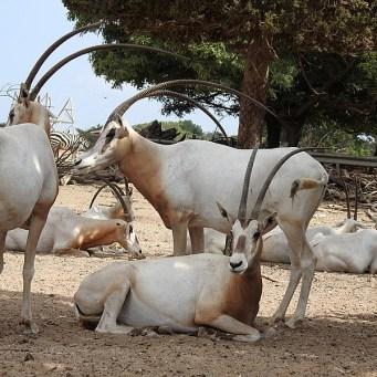 Antilopa_Oryx_DSCN0300-001