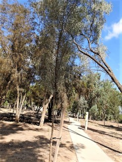 Eucalyptus spathulata_DSCN1965 (2)