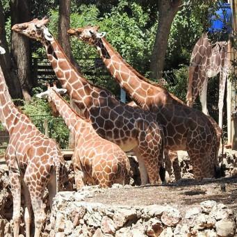 Giraffa camelopardalisDSCN0489 (2)