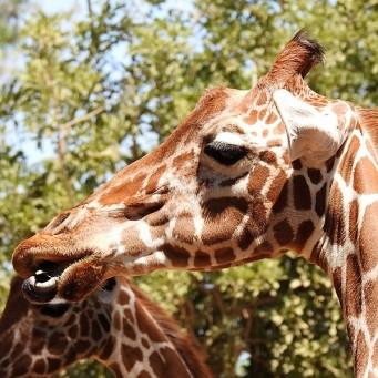 Giraffa camelopardalisDSCN0490 (2)