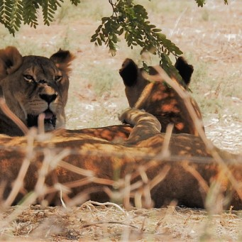 Leo_Panthera_DSCN0513 (2)