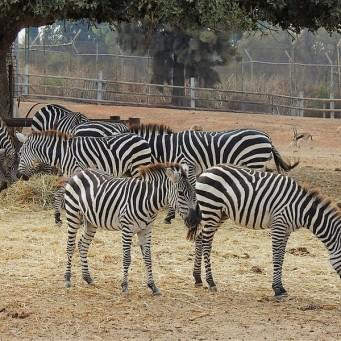 Zebra_DSCN0230 (2)