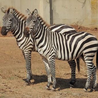 Zebra_DSCN0249 (2)
