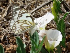 Belianka_Anaphaeis aurota IMG_1896-001 (2)
