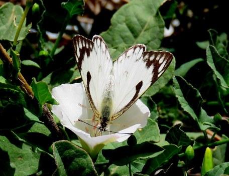 Belianka_Anaphaeis aurota IMG_1909