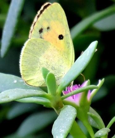 Colotis phisadia_IMG_0364 (3)