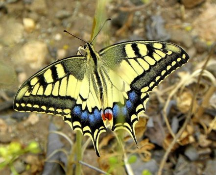 Machaon_P5200573-002