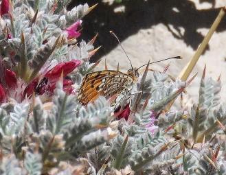 Melitaea deserticola macromaculata_IMG_2013-002 (2)