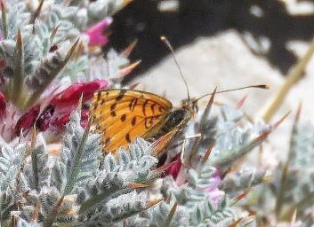 Melitaea deserticola macromaculata_IMG_2014-002 (2)