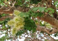 Acacia albida IMG_5308 (2)