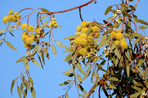 Eucalyptus DSCN6687-001