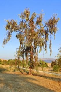 Eucalyptus DSCN6688-001