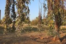 Eucalyptus DSCN6697-001