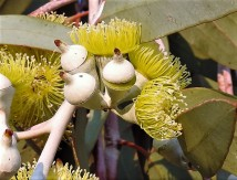 Eucalyptus DSCN6707-001 (2)