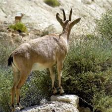 Gazella gazella Capra nubiana IMG_7604 (2)
