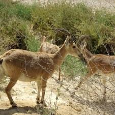 Gazella gazella IMG_7610_00