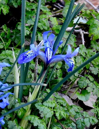 Iris histrio_DSCN8215-001