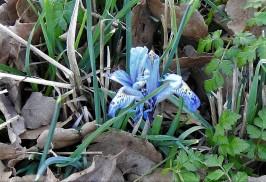 Iris histrio_DSCN8223 (2)