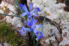 Iris histrio_DSCN8243 (2)